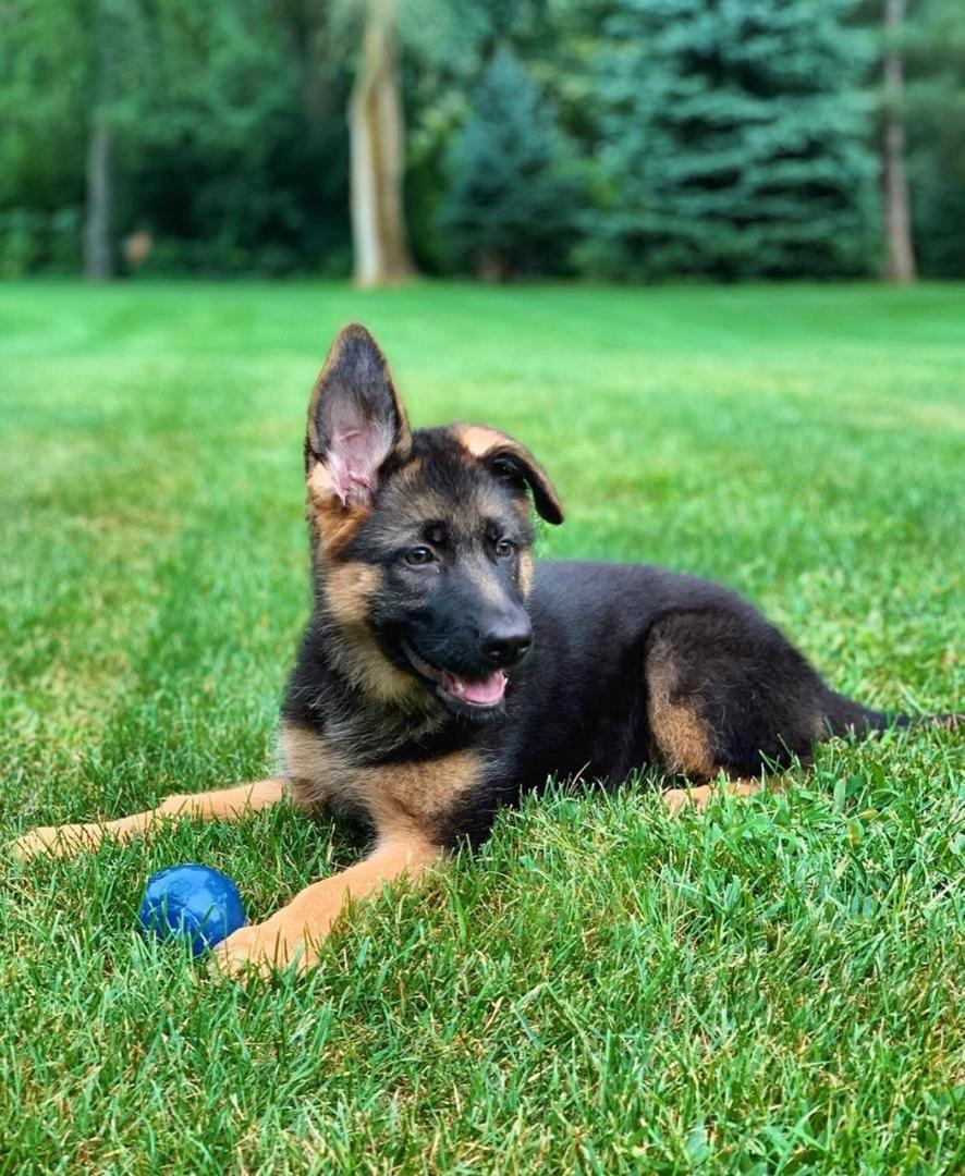 Corgi Puppies Craigslist Texas Ideas