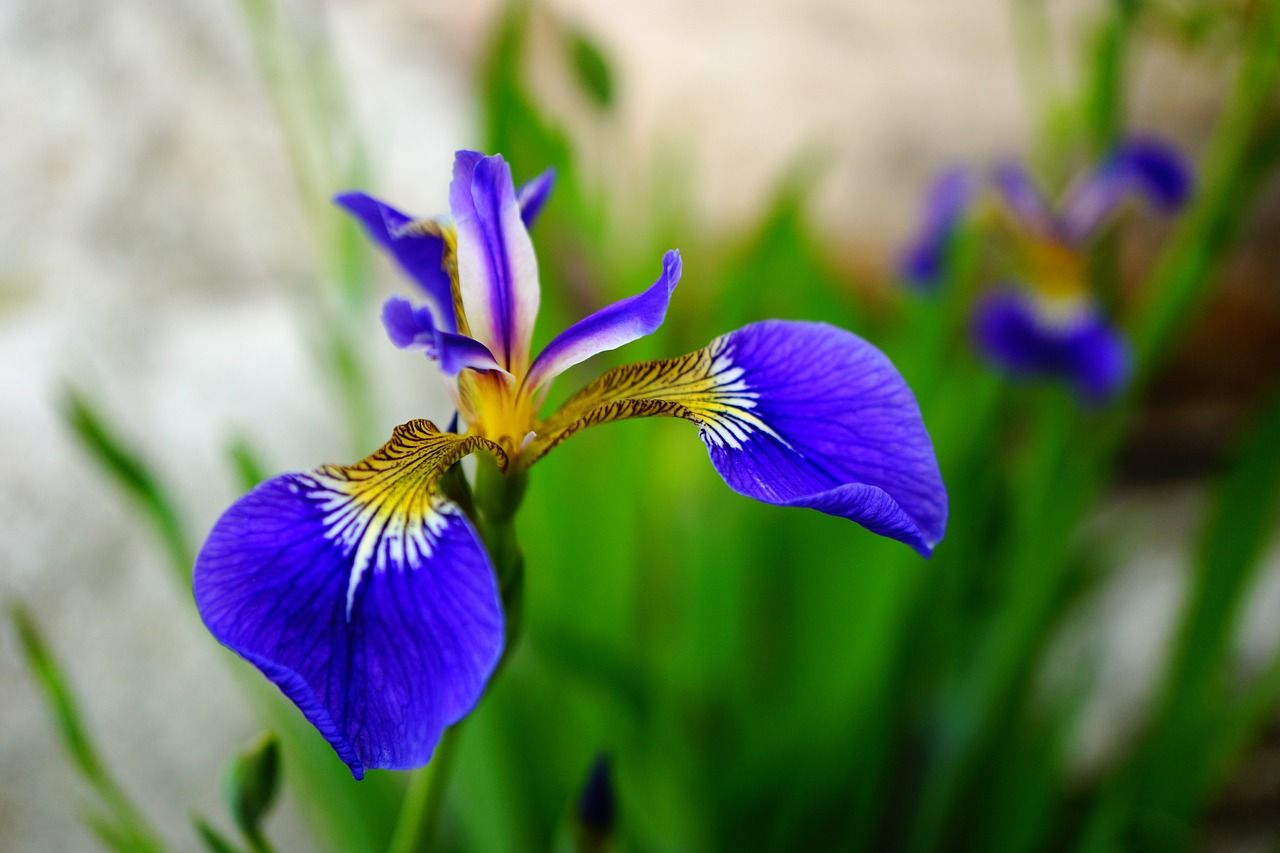 Alternative mothers day gift ideas iris iris flowers and flowers iris izmirmasajfo