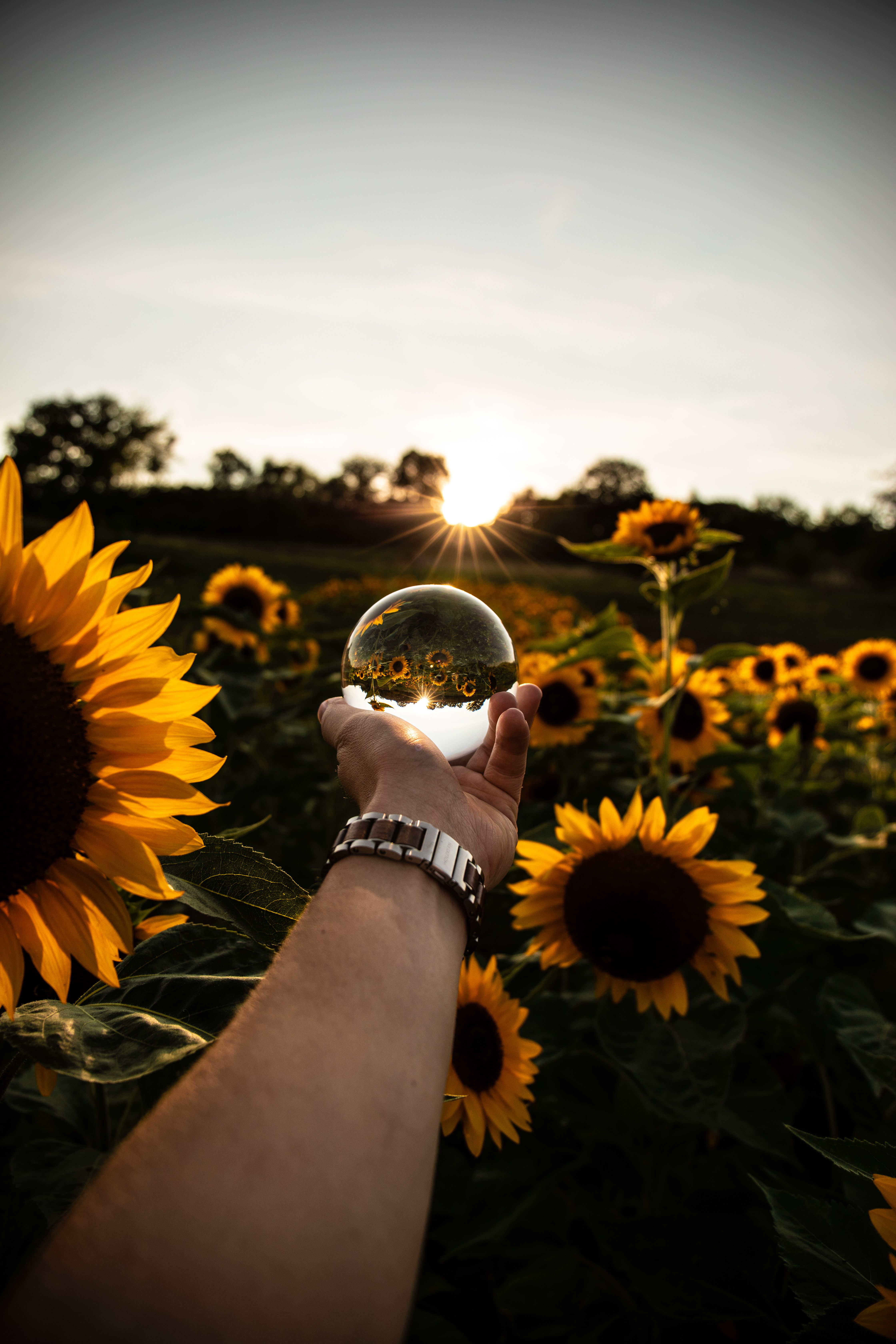 Using A Lensball To Reflect A Sunflower Field While Sun Is Setting Sunset Sunflowe Reflection Photography Sunflower Photography Sunflower Field Photography