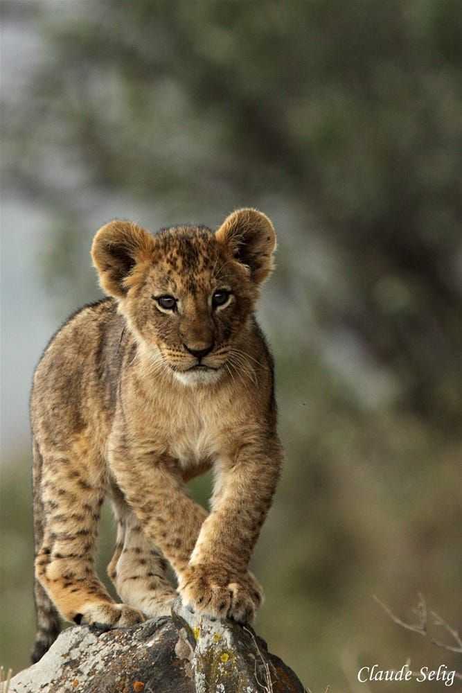 lionceau by selig claude on 500px animals pinterest lions
