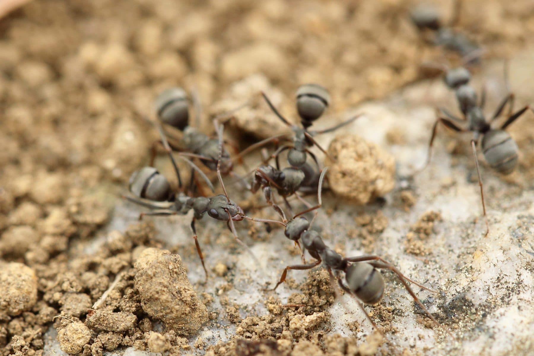 Hoe houd je mieren buiten de deur en hoe kun je mieren