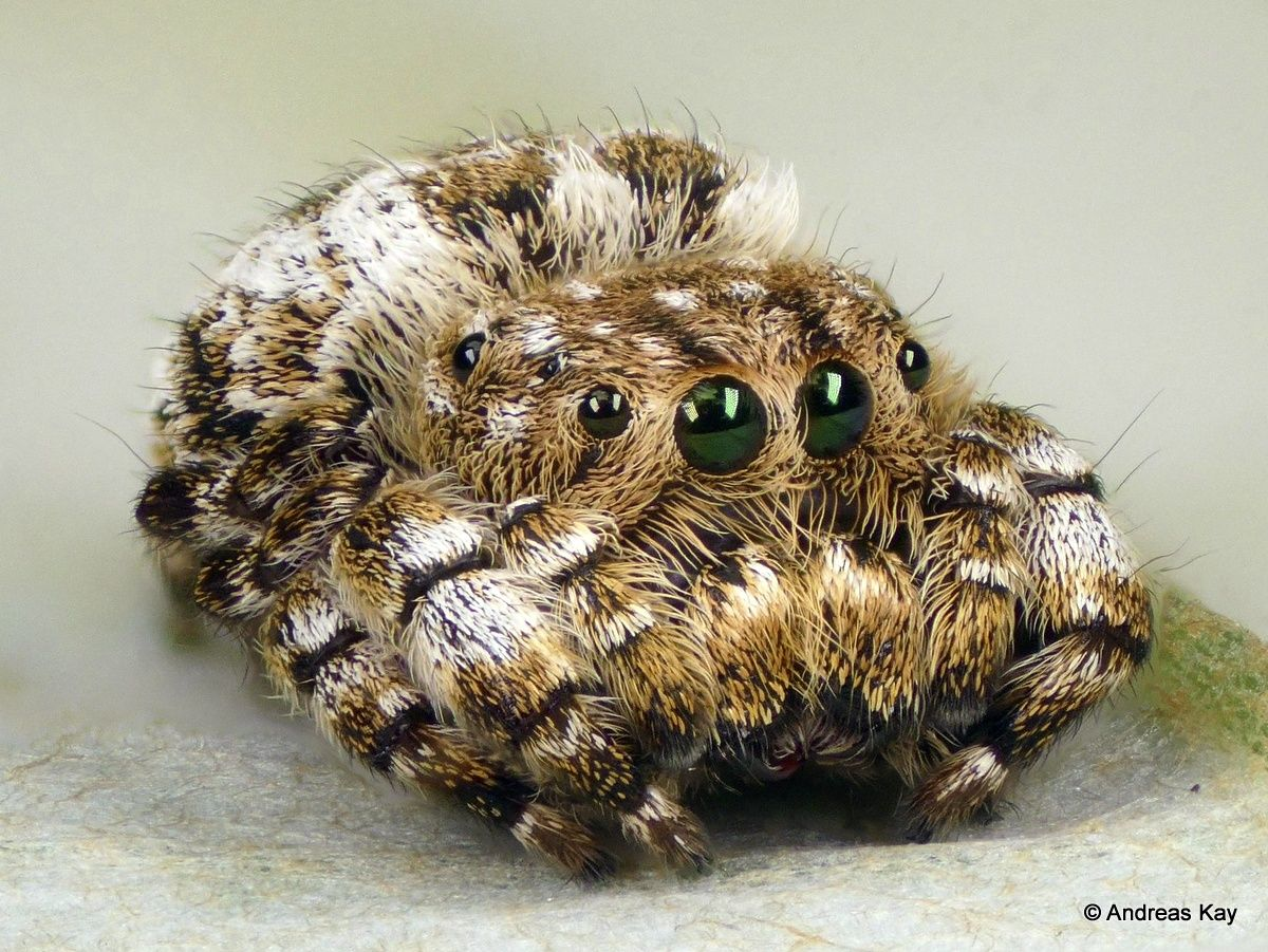 Photo Jumping Spider Is As Cute As A Kitten Jumping Spider Pet Spider Spider
