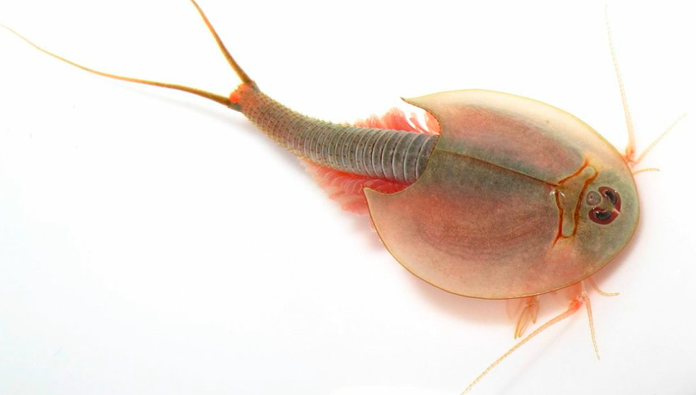 Triops Amazing Facts About Crustaceans