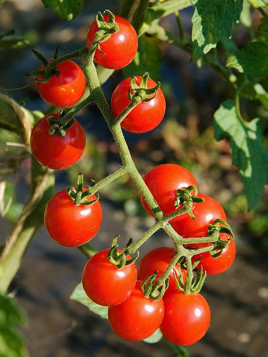 New Fruit And Vegetable Varieties For 2013 Cherry Tomato 400 x 300