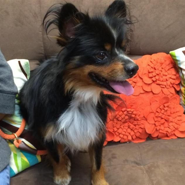 Adopt Maximus On Dogs Humane Society Pomeranian Mix
