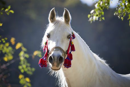 Gorgeous Arabian Horse Arabian Horse Show - Western Competition Egyptian Stallion Breeding