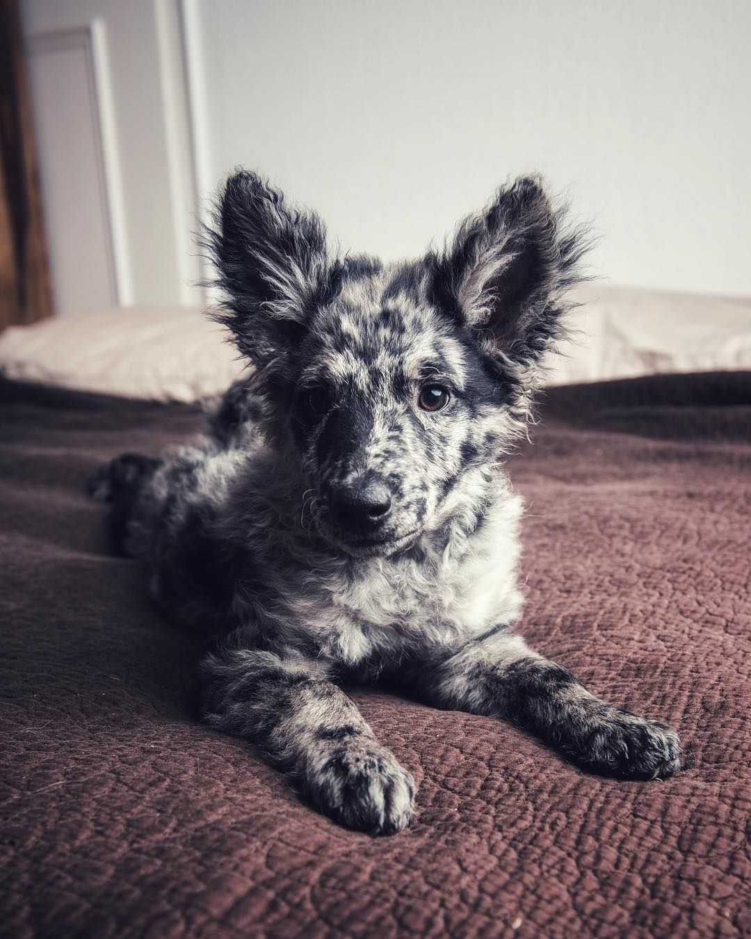 "Joe Barti on Instagram: ""#FBF to when my Mudi was a little more mini."" -  Hungarian Mudi Hungarian Mudi Hungarian Mudi Welcome to our website, We hope you are satisfied with - #barti #FBF #instagram #Joe #little #Mini #Mudi #Pets #Petsaccessories #Petsdiy #Petsdogs #Petsdogsaccessories #Petsdogsbreeds #Petsdogspuppies #Petsfish #Petsfunny #Petsideas #Petsquotes #Petsunique #smallPets #smallPetsforkids"