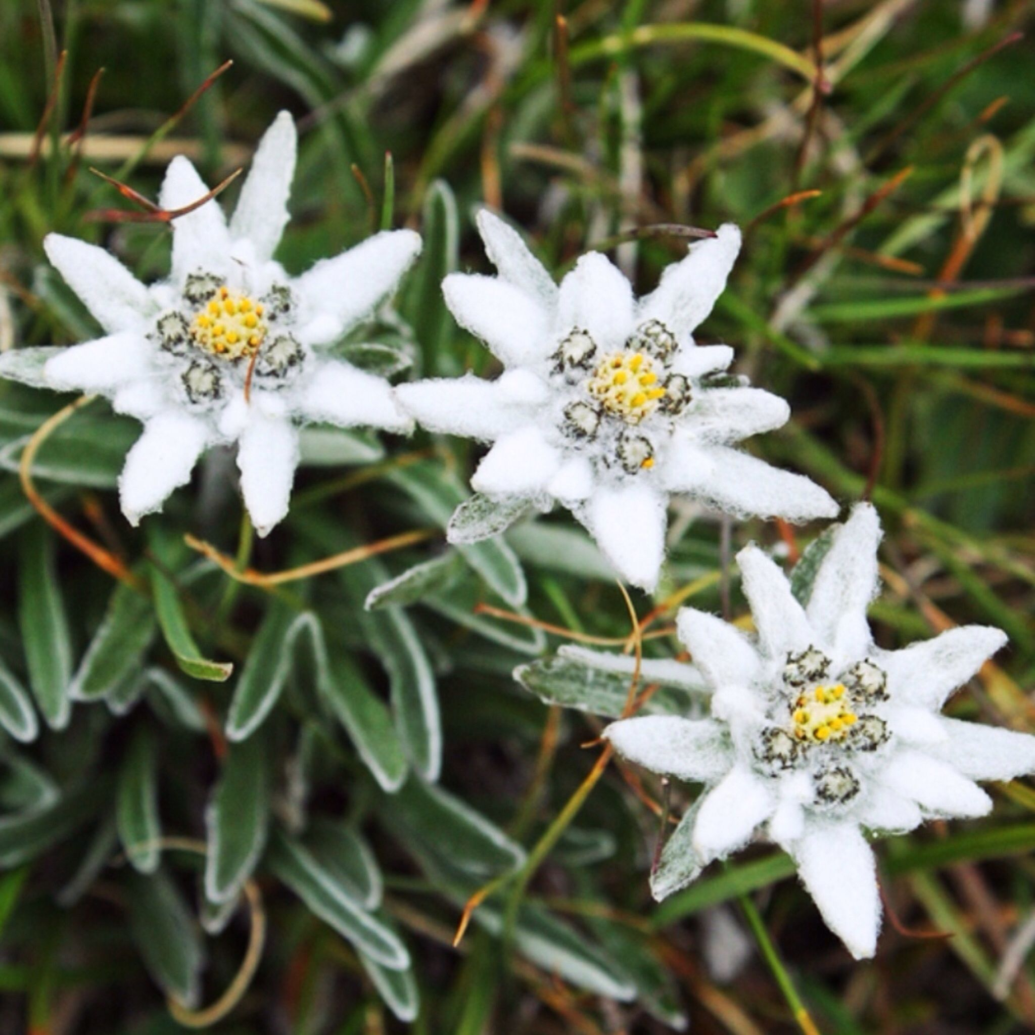 Edelweiss Is A Mountain Flower Associated With The Alps It Is Also The Inspiration For A Song In The Sound Edelweiss Flower Flower Photos Beautiful Flowers