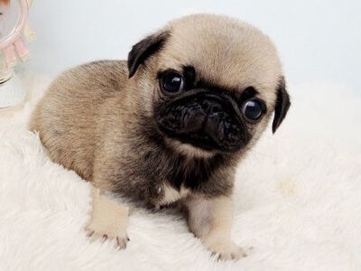 All Puppies For Sale Pug Breeders Pug Puppies Puppies