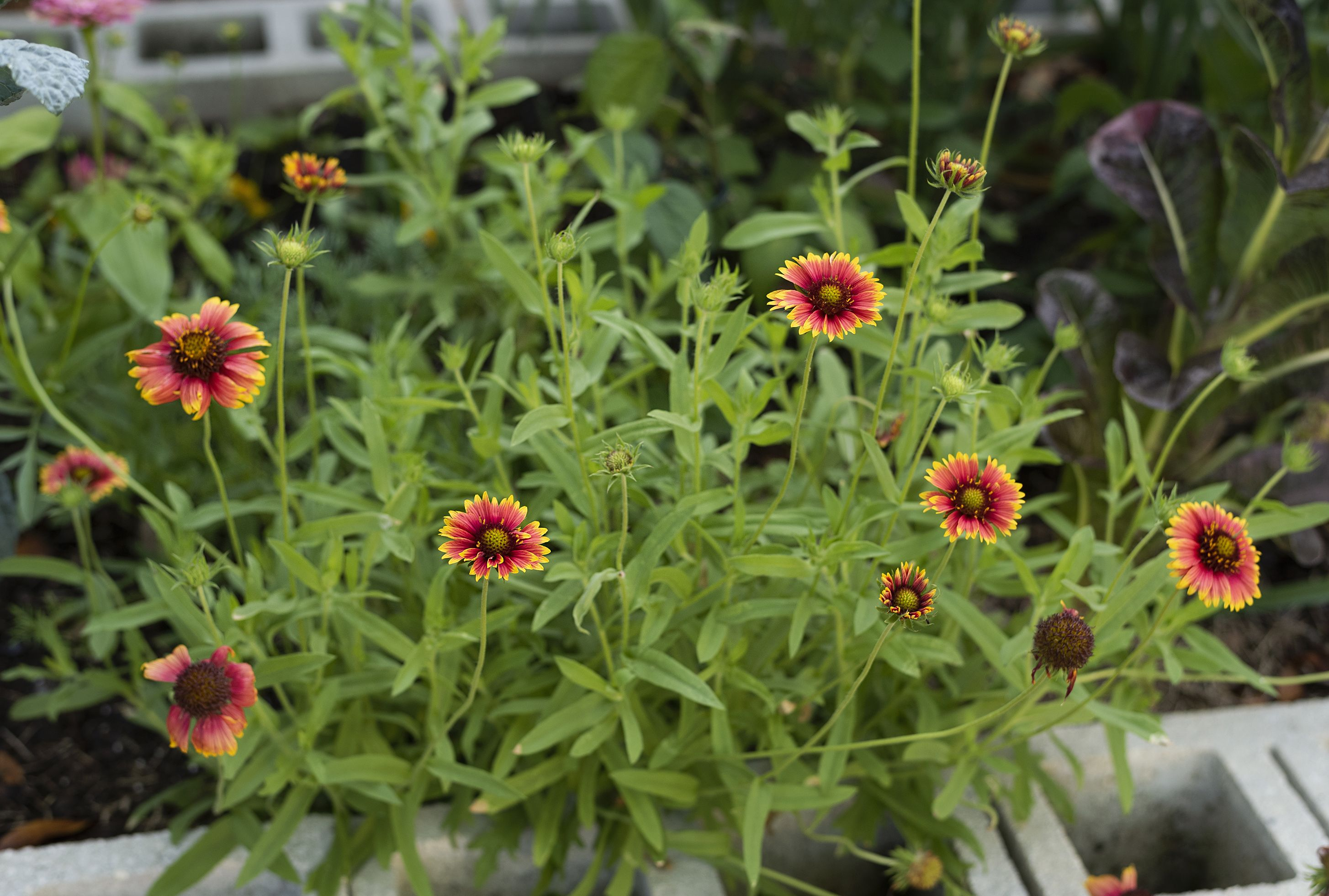 Gaillardia easy to grow in florida flower growing