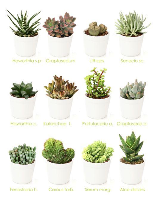 Variedades cactus y plantas crasas2 flores pinterest suculentas jardinagem y cactos - Variedades de plantas de interior ...