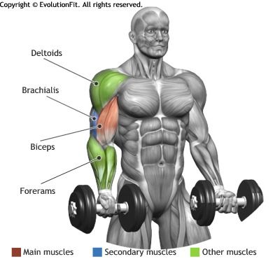 Biceps Standing Dumbbell Bicep Curl Awwch Pinterest