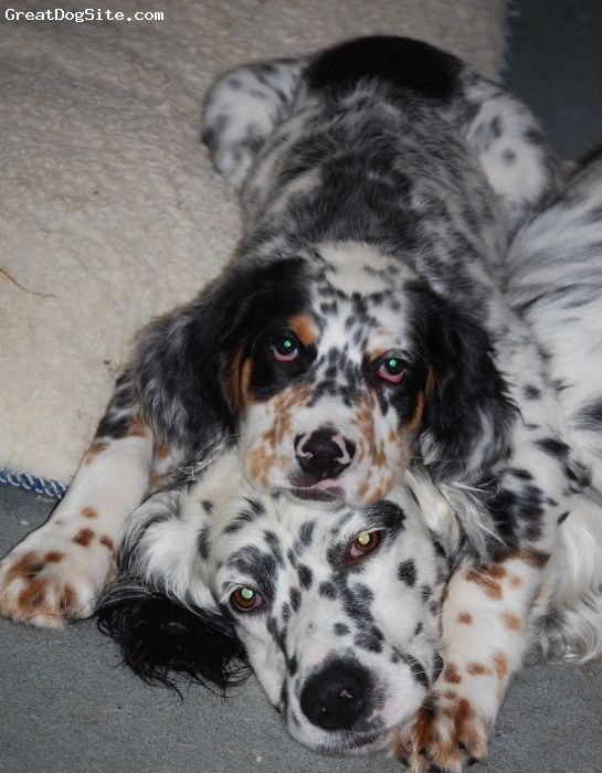 Pin By Patty Welch On Llewellin Setters English Setter Puppies English Setter Dogs Beautiful Dogs