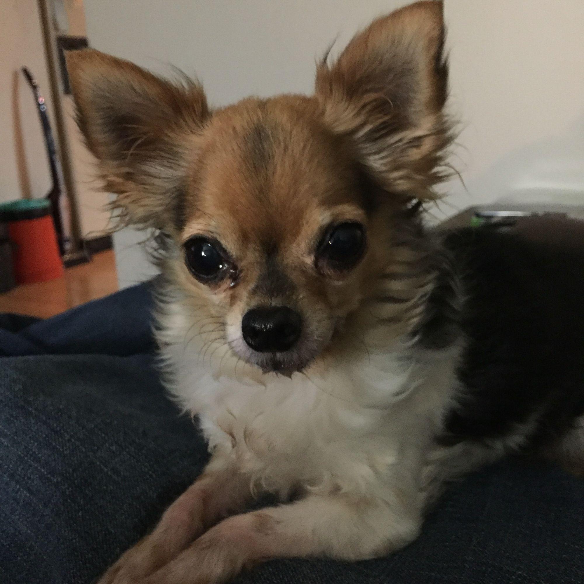 Chihuahua lucy cutest dog ever cute chihuahua chihuahua
