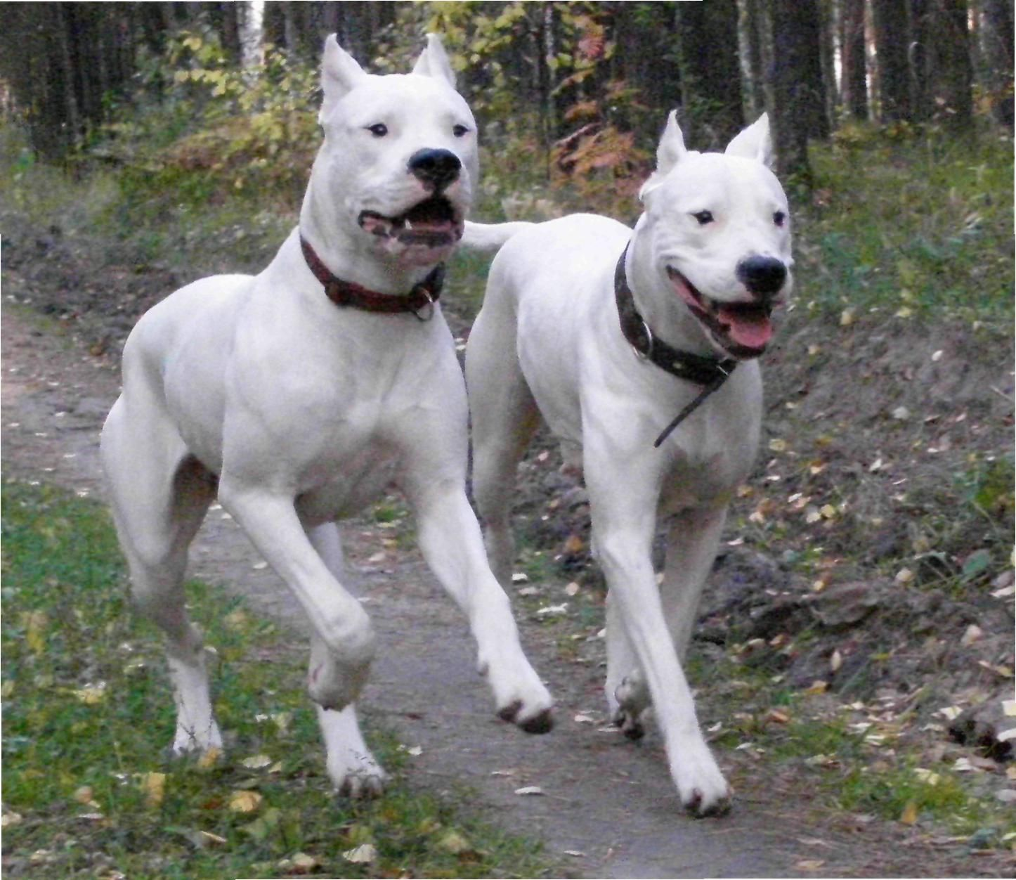 Dogo Argentino Dogs Dog Argentino Dogs And Puppies