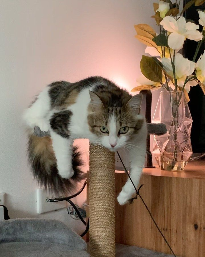 NEW14-most-popular-cats-cutest-large-2020-Page-3of7  The awkward moment youre caught playing with your own tail  #lifeofwillowcat #cat #cats #catstagram #catsofinstagram #pet #petstagram #petsofinstagram #catoftheday #catsofinsta #catsoninstagram #sleepykitty #bestmeow10k #cat_features #trendscat #meowed #cute #tabby #catlover #cats_of_instagram #rescuecat #adoptdontshop #cats_of_world #catlovers #adventurecat #beautifulcat #pretty #ilovemycat