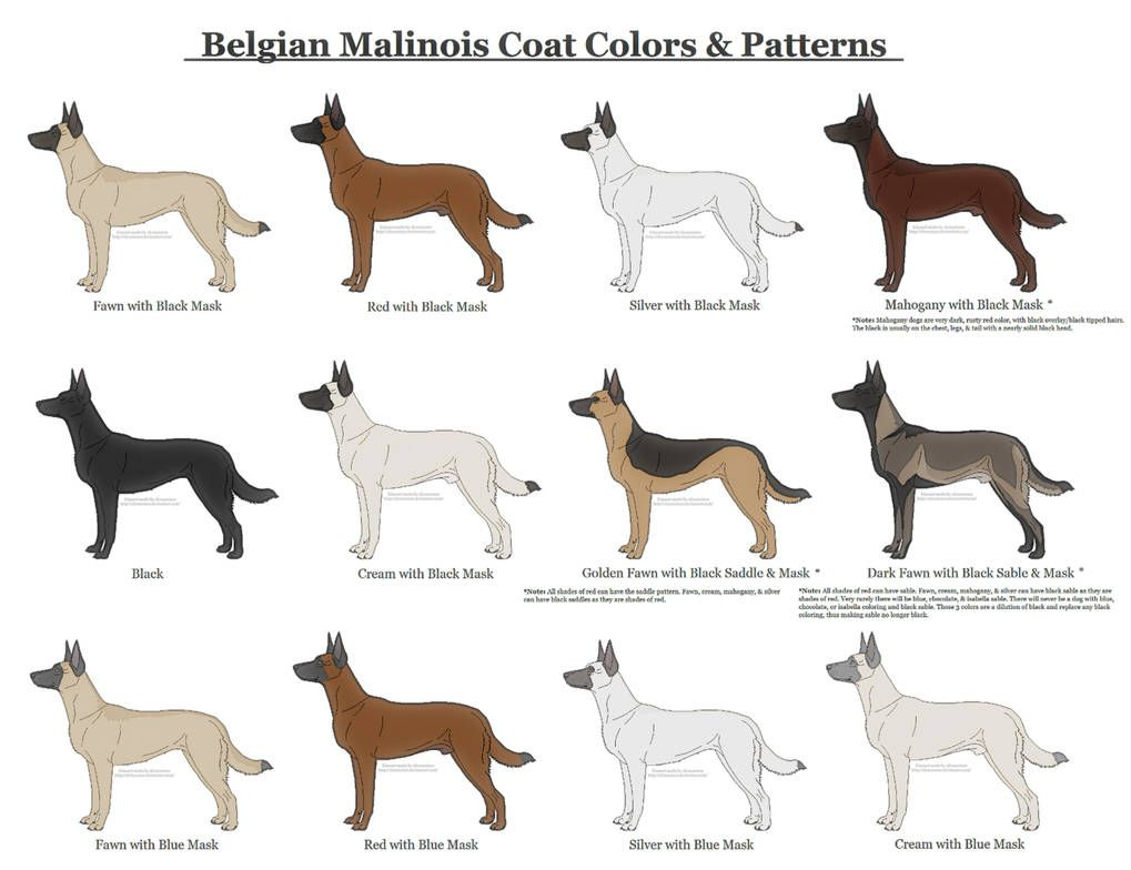 Belgian Malinois Coat Colors and Patterns by xLunastarx