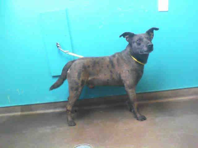 Sheprador Dog For Adoption In Las Vegas Nv Adn 598632 On