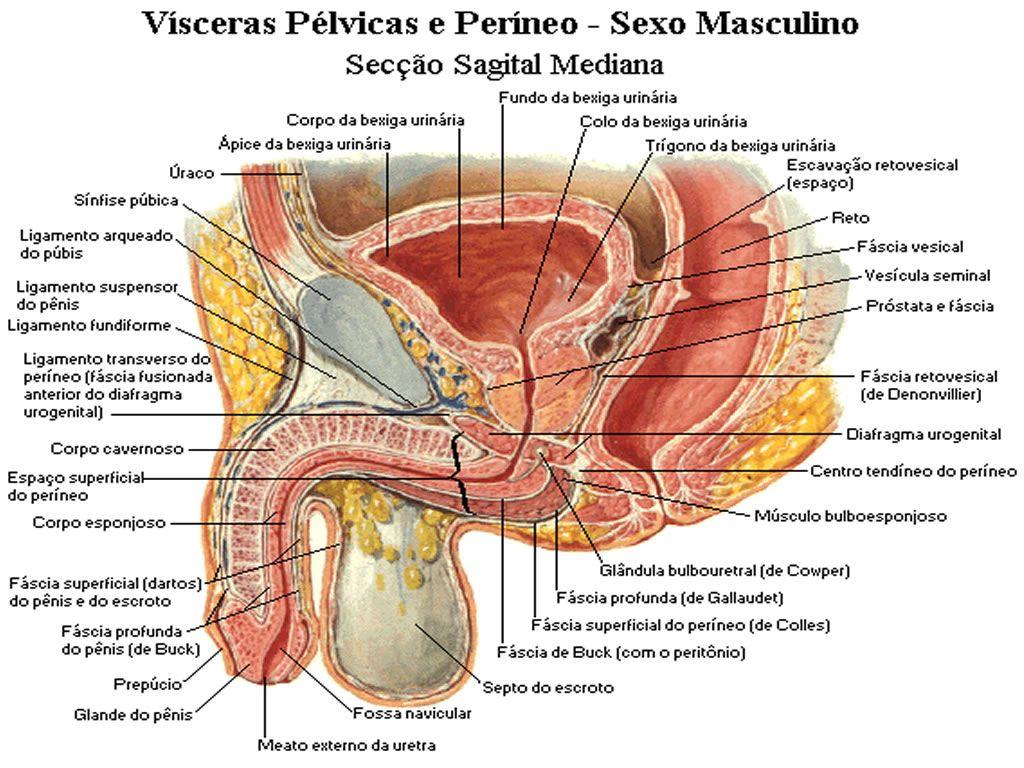 Pin de Mardonio Santos en Anatomia | Pinterest | Anatomía