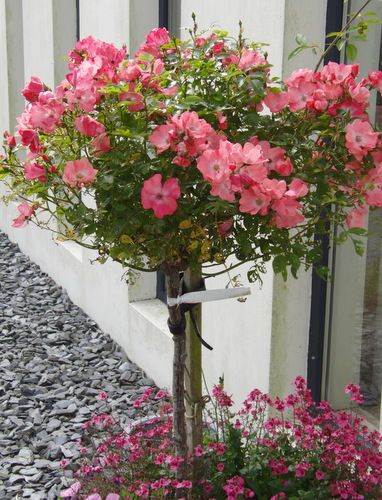 Growing Roses In Containers Rose Bush Care For Pots Growing Roses Container Roses Standard Roses