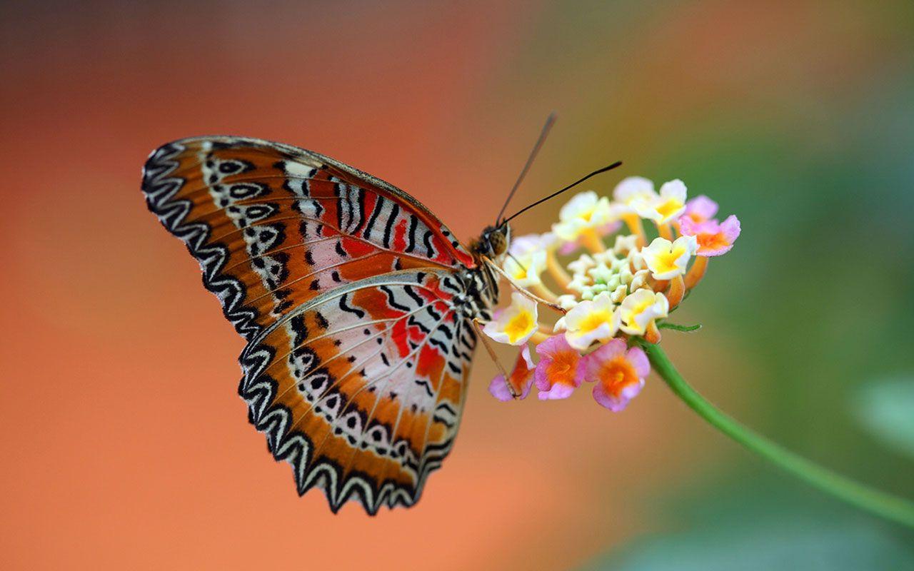 hd wallpaper butterflies ? animal wallpapers - free download