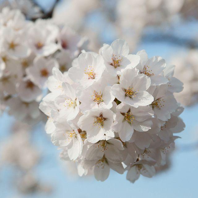 Cherry Ball Sakura Flower Flowers Hanging Plants