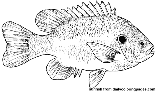 httpdailycoloringpagescomimagestexas bluegill fish coloring