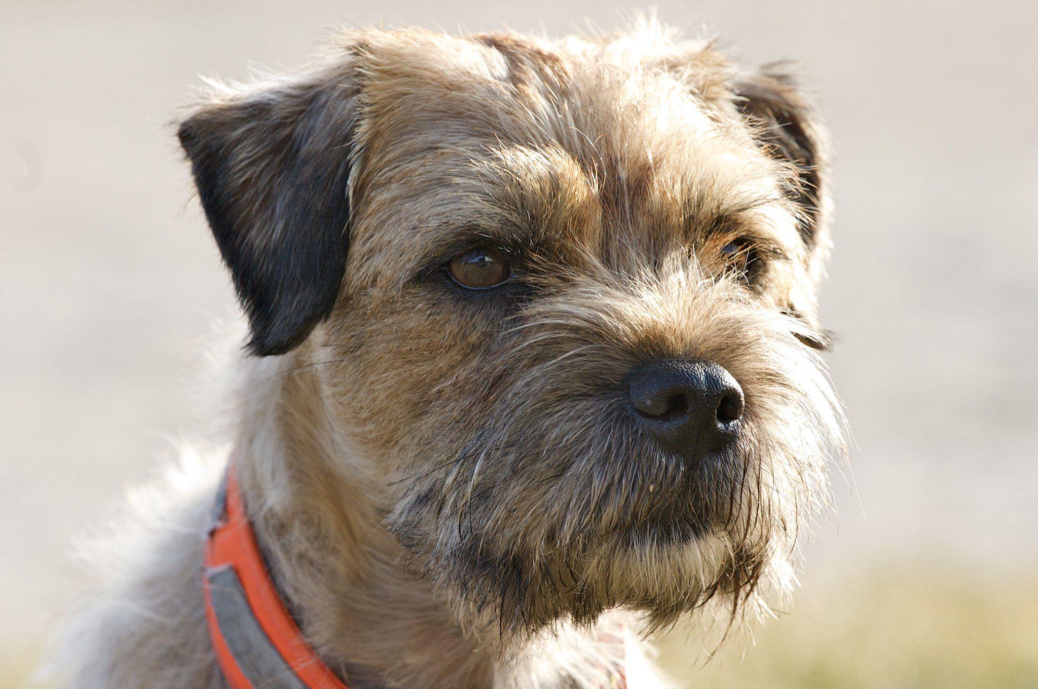 Border Terrier Hunderassen Haushund Ich Liebe Hunde