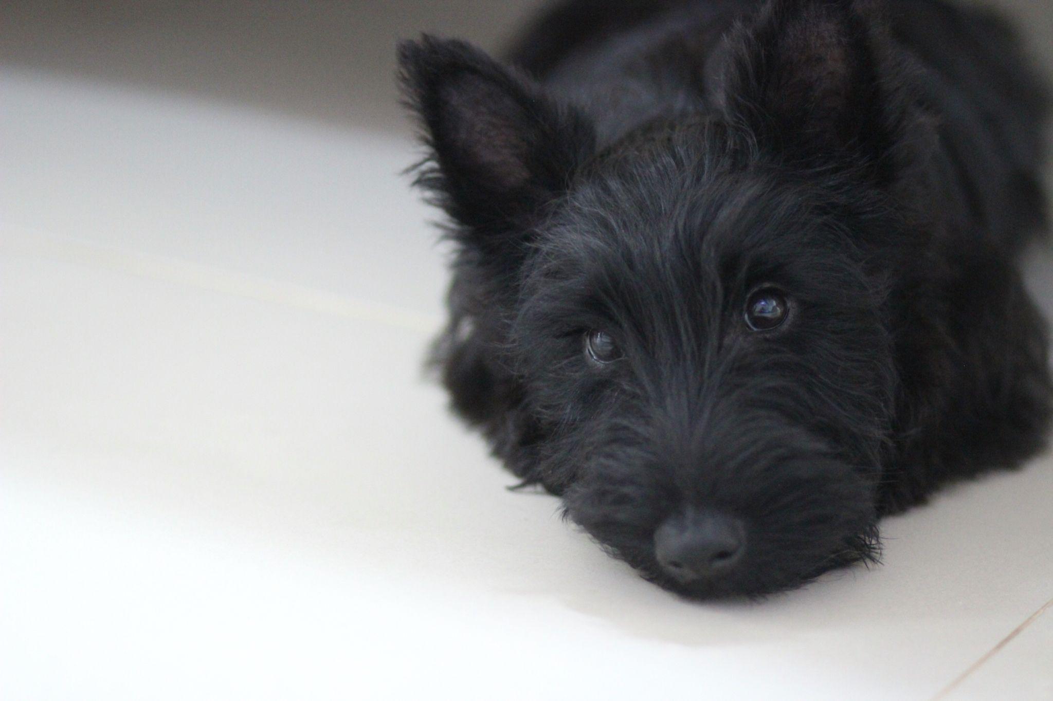 I ️ my scottie. Frida. Scottie dog, Scottie