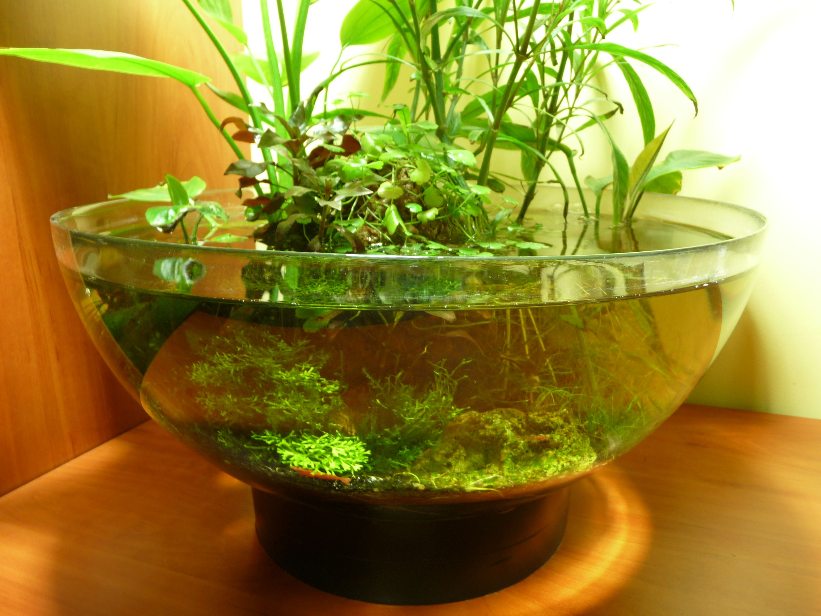 Fish aquarium and good luck - Luffy Marimo Moss Ball Excellent Gift For Your Friend Or Loved Ones To Signify Everlasting Love The Japanese Believe That Marimo Will Bring Good Luck