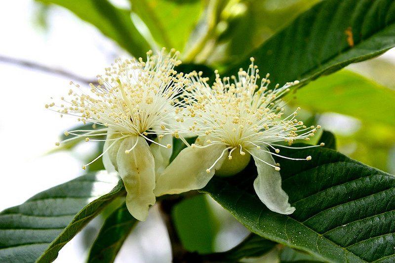 Guava flowers, flor de la guayaba, Betsy Arvelo