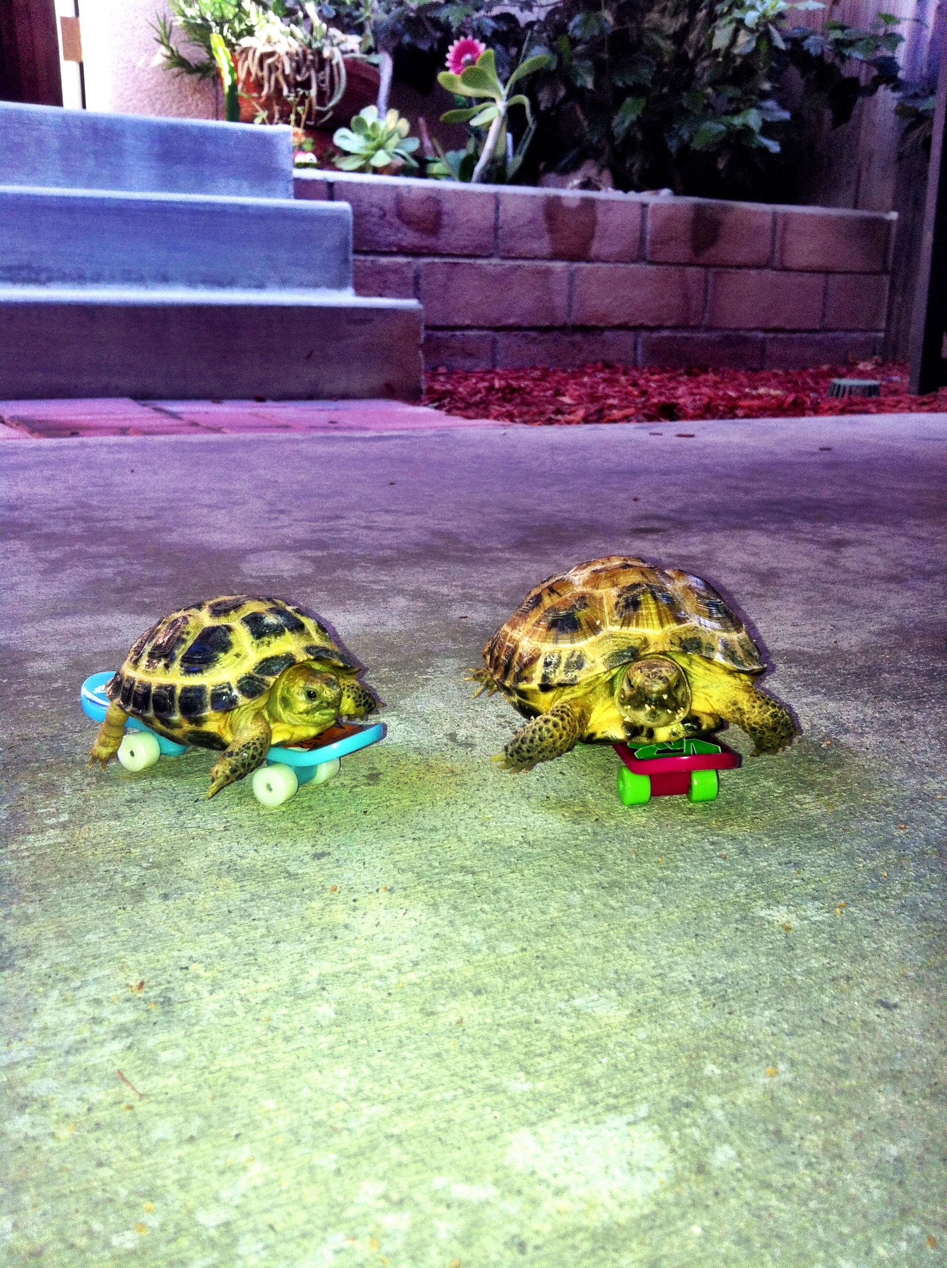 Another Pinner Got Me Nails Diddd I Love The Solid: Another Pinner's Adorable Russian Tortoises Bowser And