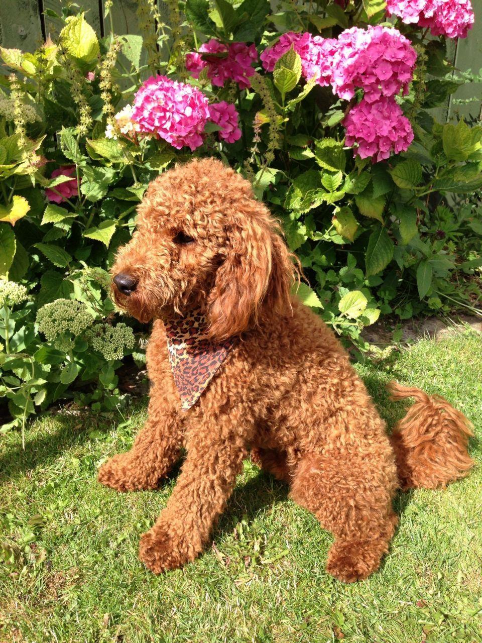 Patterpoo miniature poodle dog breeds poodle puppy
