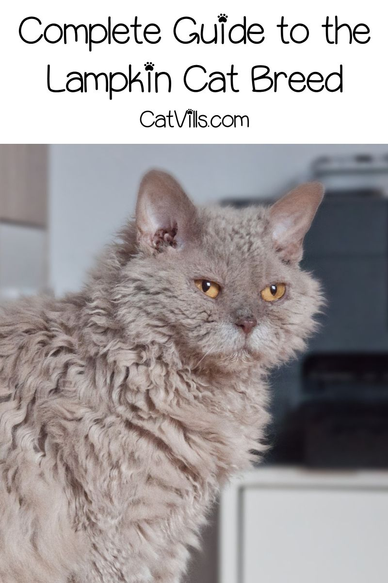 Lambkin Cat Breed All About This Adorable Fluff Bomb Cat Breeds Cat Care Pets