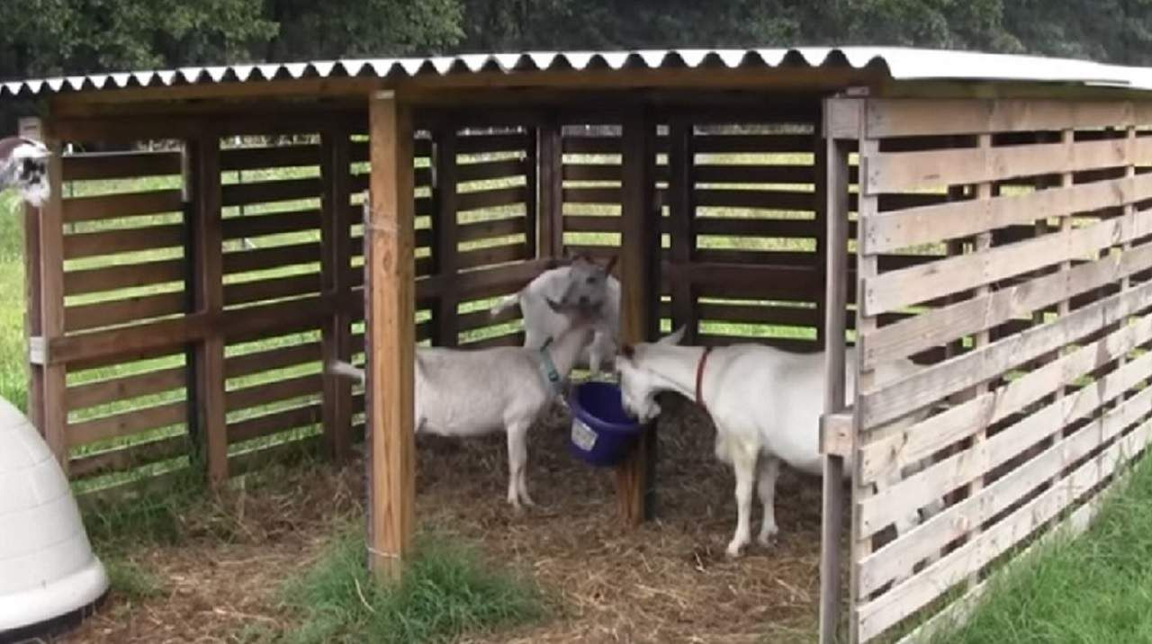 25 Cheap Easy Goat Shelter Ideas Using DIY Pallets in 2020 ...