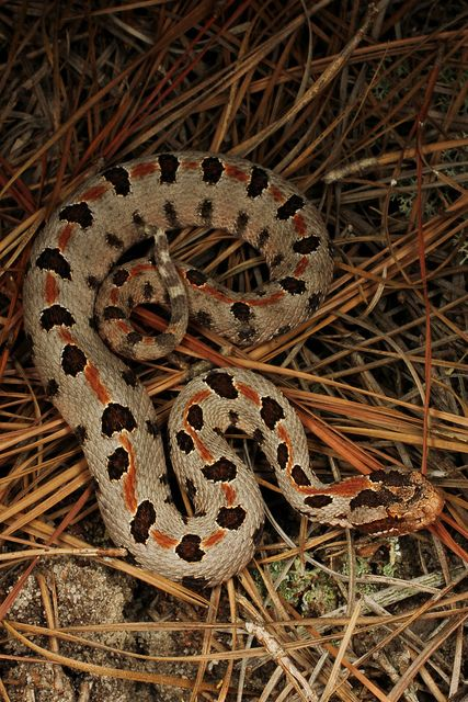 Carolina Pigmy Rattlesnake Pet Snake Cute Snake Reptile Snakes