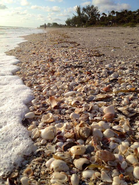 The Essential Beachcomber - shells on Blind Pass Beach ...
