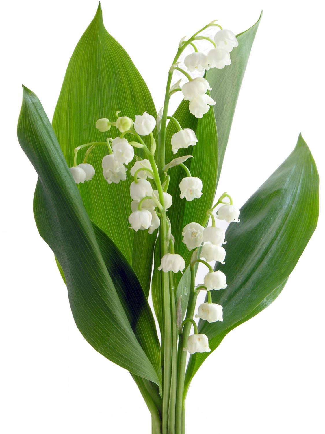 Lily of the valley. COLORS white and pale pink (rare