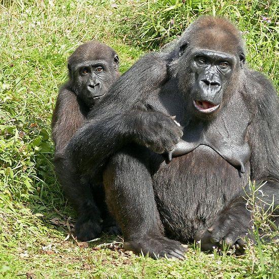 Gorilla... a very human look ! ! ... 31 (c)(t) by Olao-Olavia par Okaio Créations fz 1000