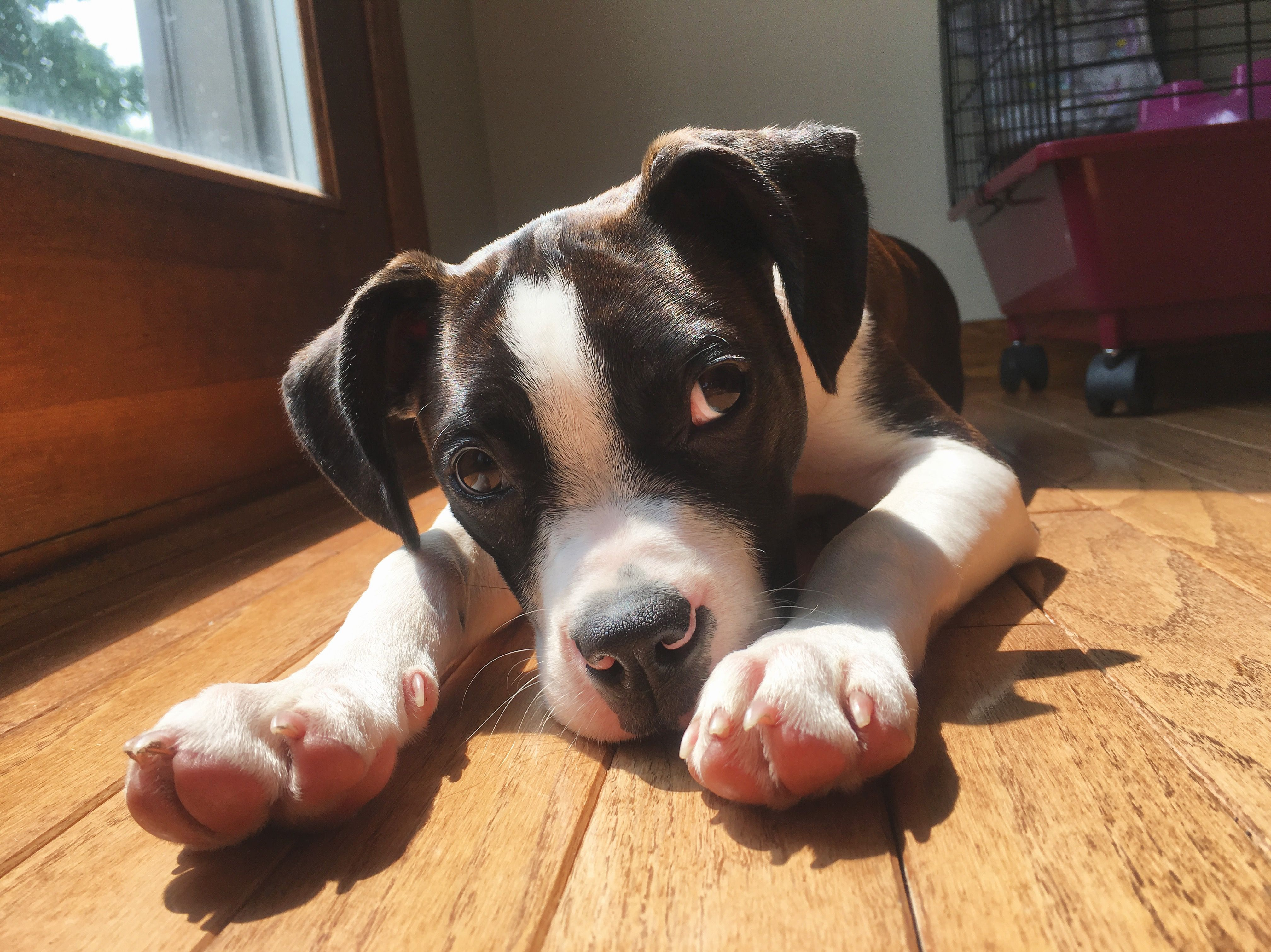Bruno Is The Cutest Puppy Boston Terrier And Brittany Spaniel Mix Dogs Cute Puppies Pets