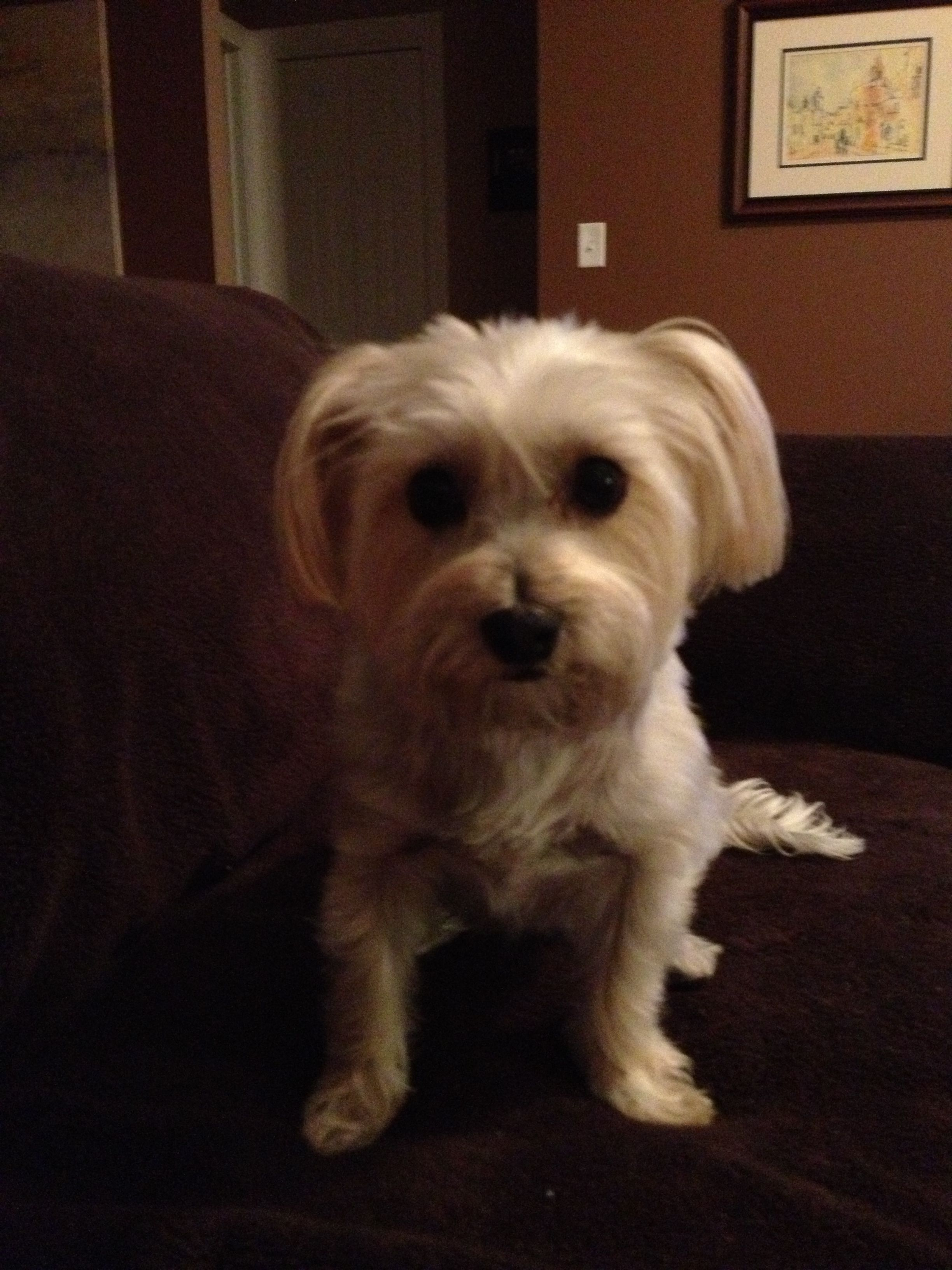 Piper Morkie Dogs Cute Yorkie Dogs Fur Babies