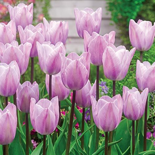 Brecks Tulip Silver Cloud Botanical Name Tulipa Triumph Flowering Time Mid Spring Flower Silver Lilac 4 Up With Images Tulips Bulbous Plants Showy Flowers
