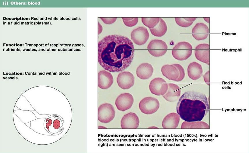 Blood Plasma Slide Consists Of Blood Cells And Plasma Proteins