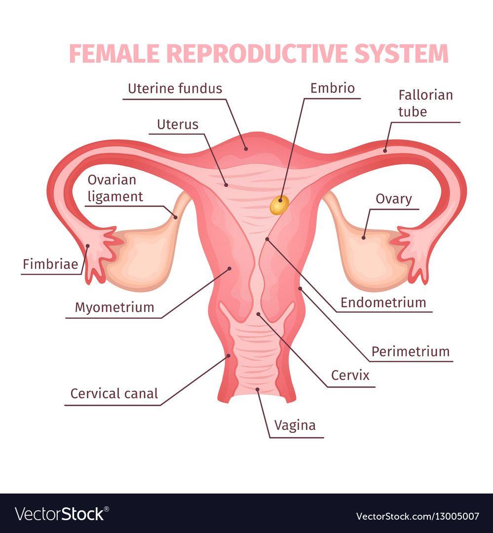 Female Reproductive System Scientific Template Vector Image On Vectorstock Female Reproductive System Anatomy Female Reproductive System Female Reproductive Anatomy