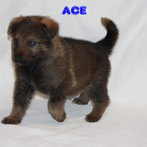 Hiya! I'm Ace, the coolest German Sheperd. I was born on