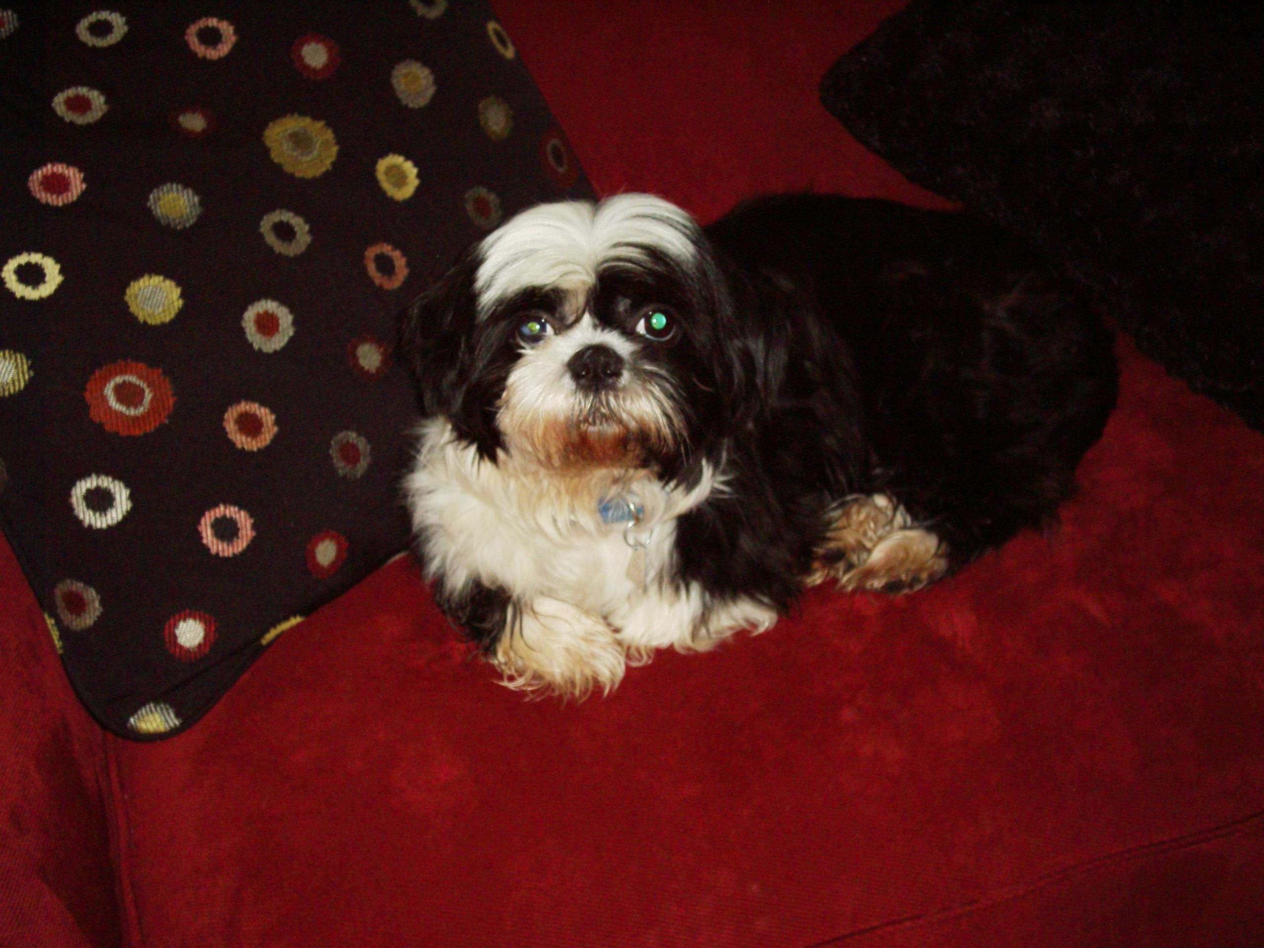 Lhasa Apso 2 Years Old This is Charlie...