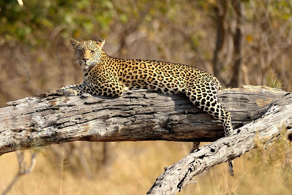 THE CHEETAH\'S ANATOMY IS BUILT FOR SPEED | BIG "|1024|683|?|en|2|2a688a9ac41ae4b20b20668581ce7680|False|UNLIKELY|0.2924233376979828