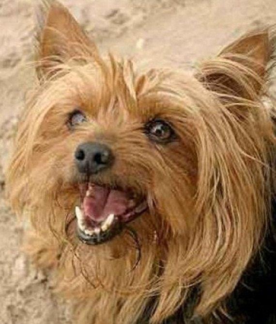 Yorkshire Terrier Crochet Pattern Easy To Read Throw Size 51 Etsy Yorkie Yorkshire Terrier Yorkshire Terrier Dog