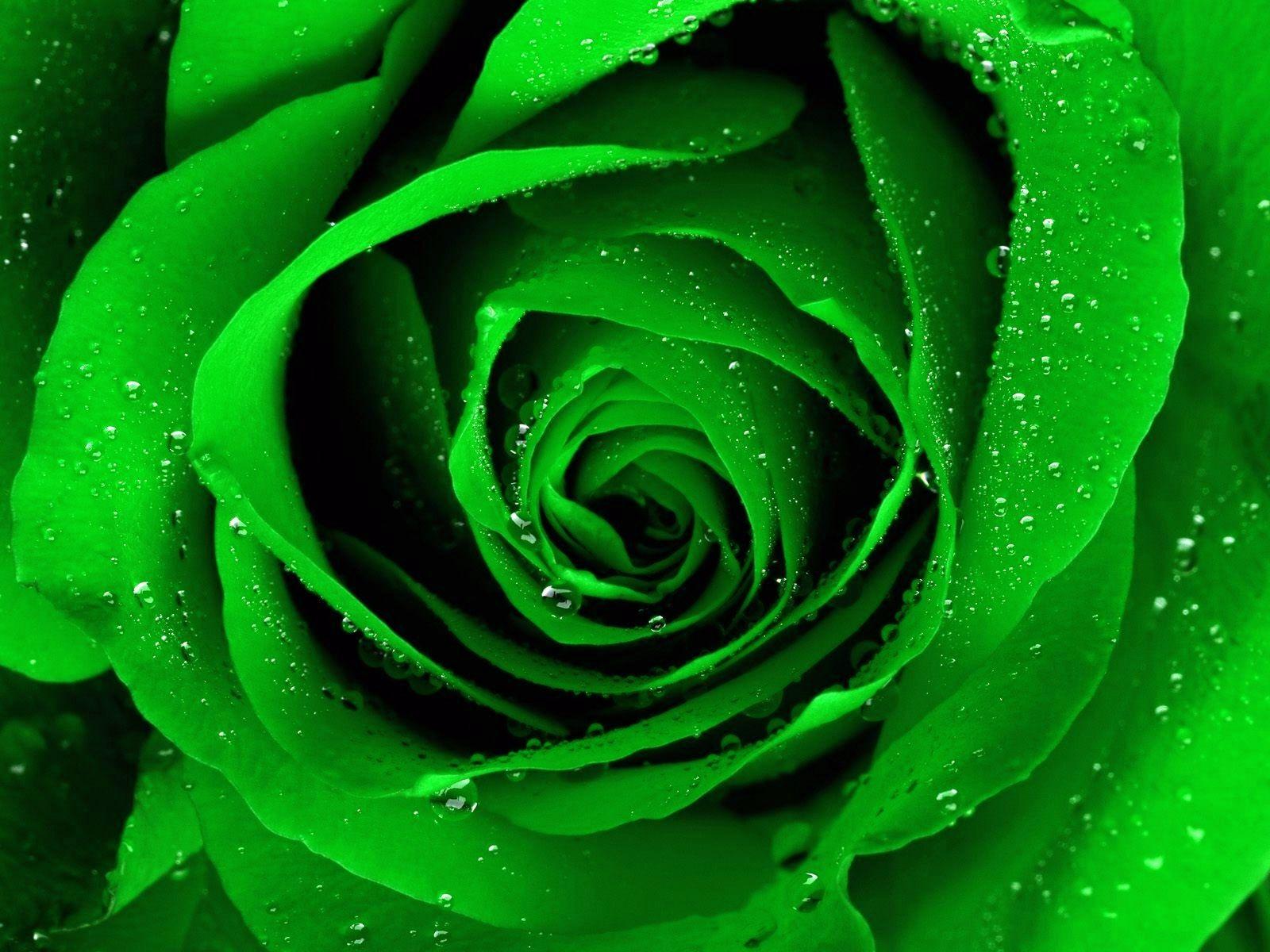 Green Roses wallpaper | 1600x1200 | #23149 | wedding | Pinterest ...