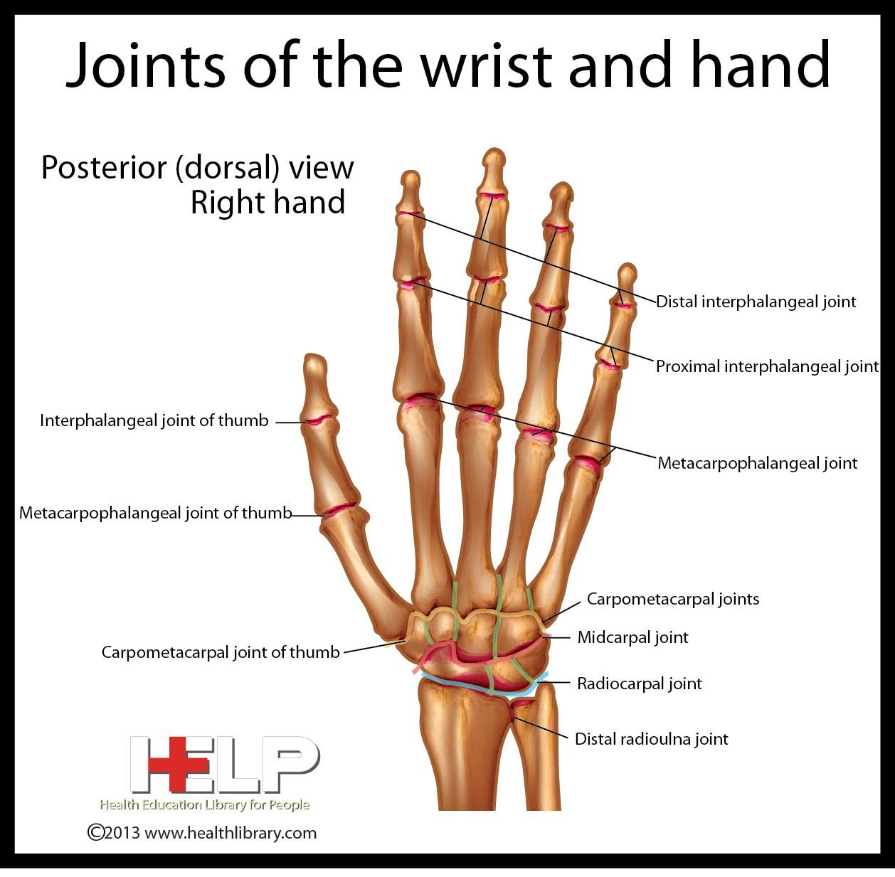 Joints of the Wrist and Hand | Skeletal | Pinterest | Upper limb ...
